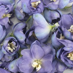 Delphinium Petals for a ashes ceremony